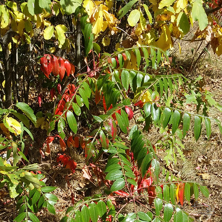 Sumac: A bit of color coming on