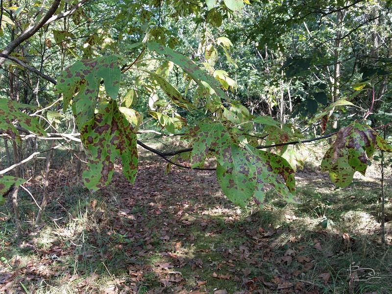 sassafras leaves turning brown.