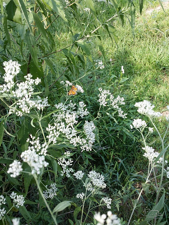 I saw two or three different kinds of butterflies around these flowers on the south side of the tai chi area.