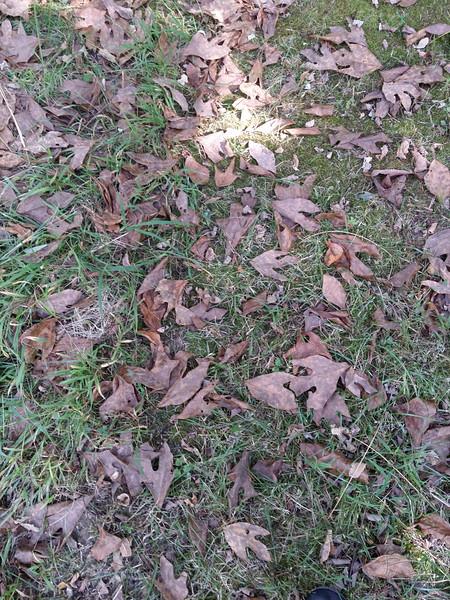 Fallen sassafras leaves