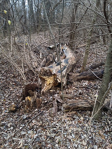 On the east side of the north end of the berm, this tree had fallen almost directly in the channel being dug by runoff over the years.  I was able to collect quite a bit more and put it in the channel, but do need to come in here with the chainsaw and make a really deep logpile berm here.