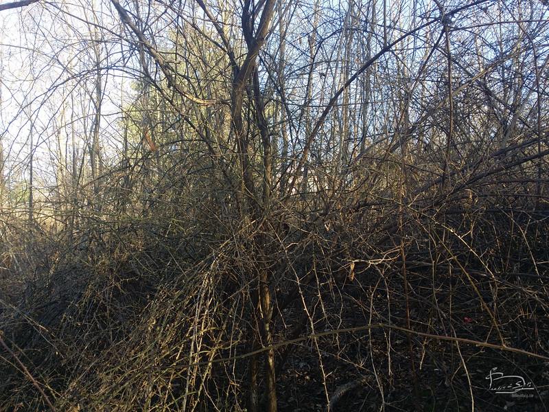 Massive thorn bushes