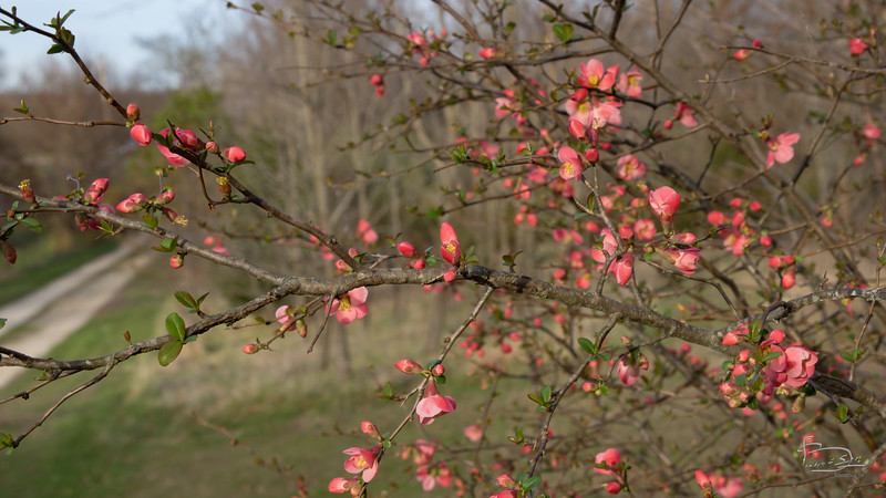 Flowering Quince?