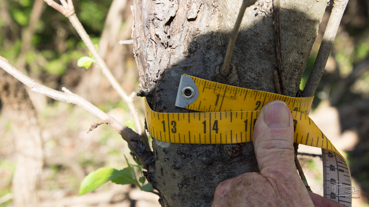 Circumference 13 inches, DBH 4 inches