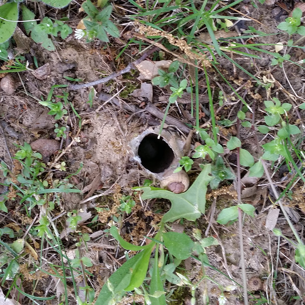 As I walked up to Mobile 35 hanging on the mother oak, in my peripheral vision, I saw some kind of movement, something white moving near the ground.  I looked down and saw this hole.