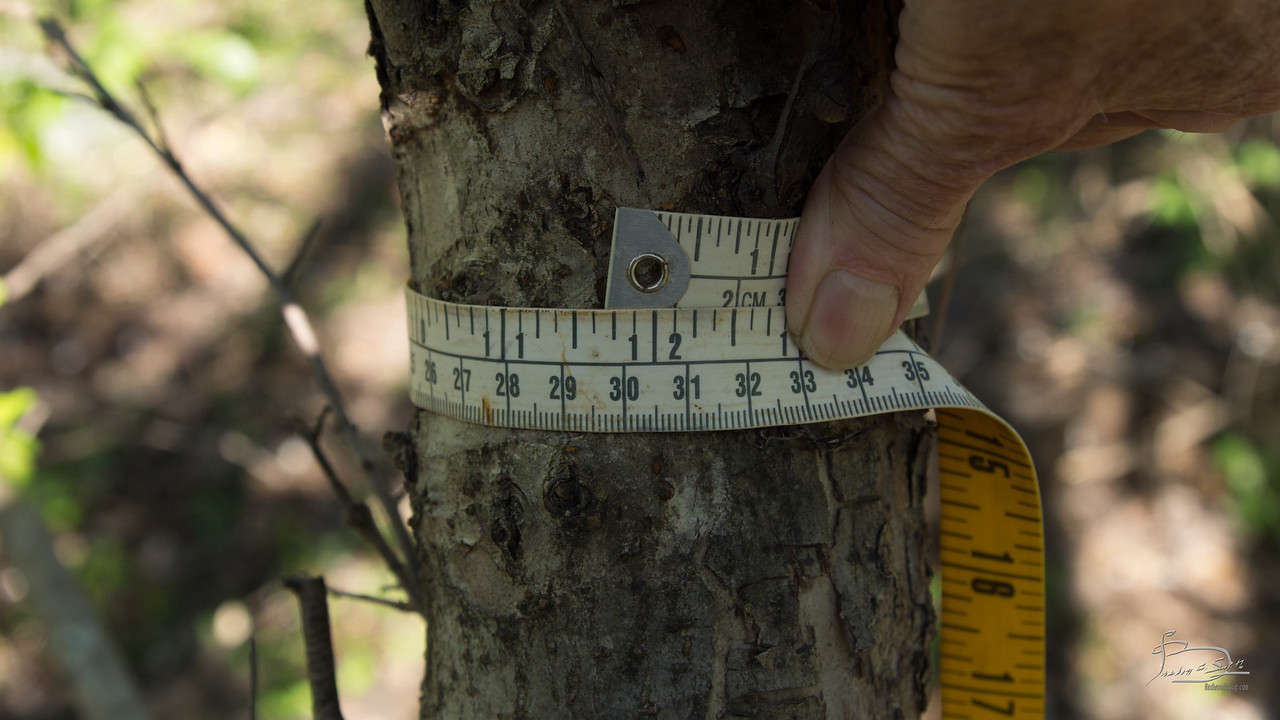 circumference 11.75 inches, DBH 3.7 inches
