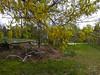 Oak in bloom