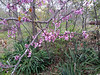 Redbud blooming