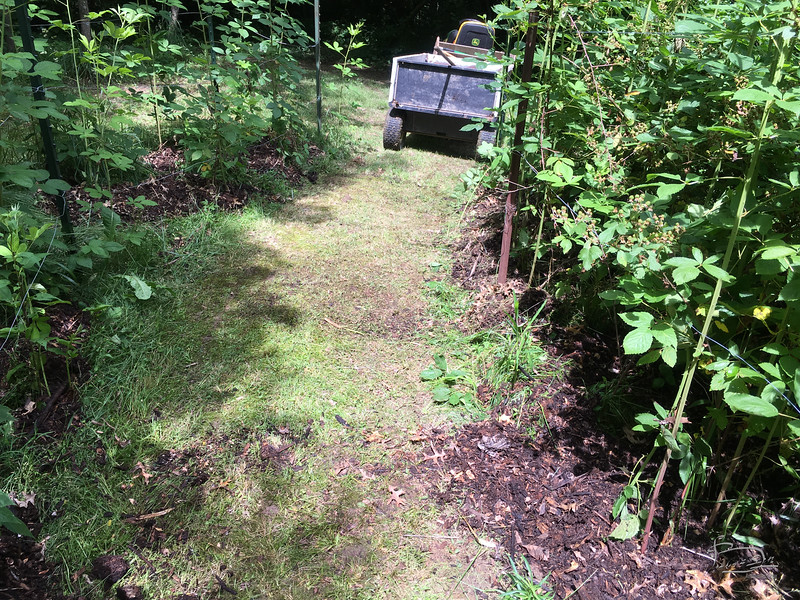 Wood chip mulch tossed into the black berry patch.  The left side has mainly new canes that will fruit next year; the right side has about a 50/50 mix of new canes and second year bearing canes with a lot of berries.