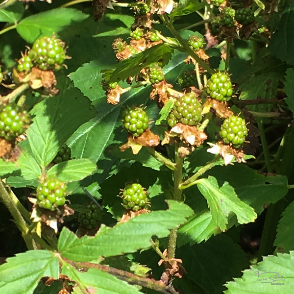Green blackberries.  My hope is that by mulching them I will help keep water available for these to turn into nice juicy berries.
