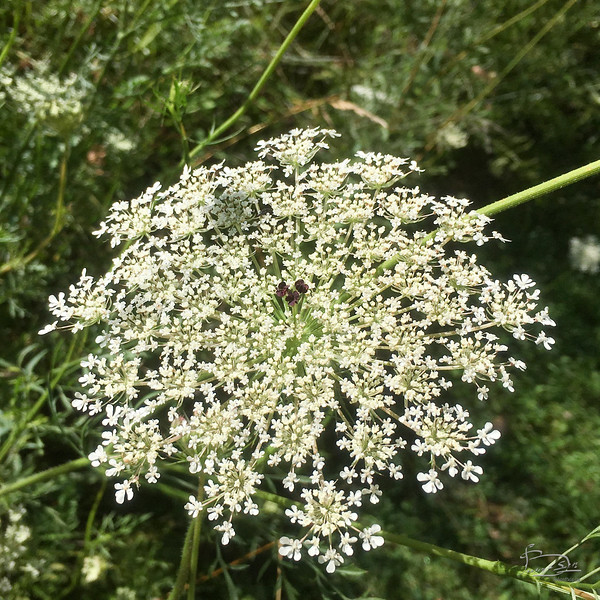 Central purple hearts in Queen Anne's Lace