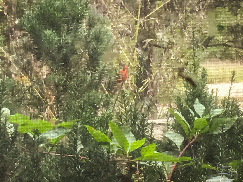 Red bird checking me out through the window