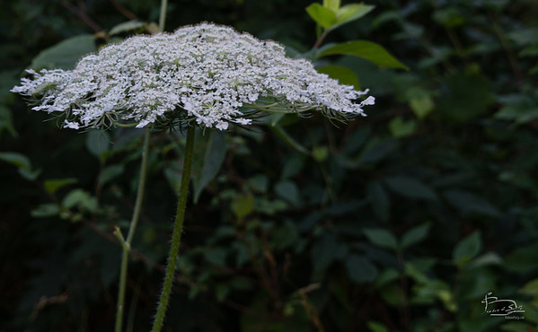 Queen Anne's lace has a hairy stem; poison hemlock has a smooth stem.