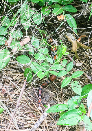 Northern Scarlet Snake  Cemohora coccinea copei