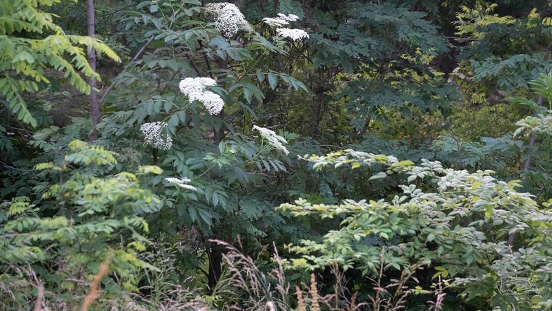 Elderberry bush closer