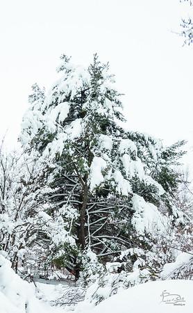 Guardian Pine