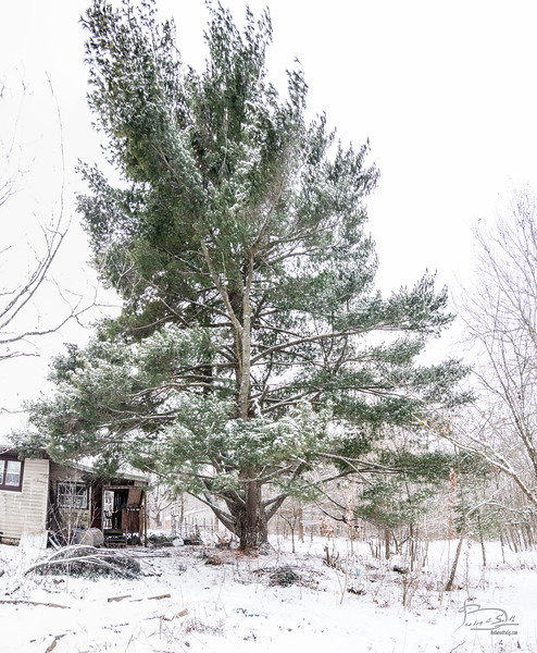 Last night's snow was barely enough to give the tree some white.  The previous snow load dropped several large branches, resulting in a more open tree now.