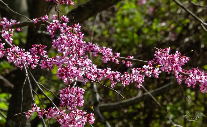 redbud bloom