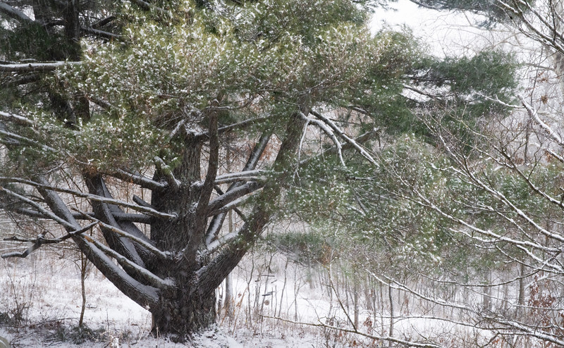 Guardian Pine_DSC0441