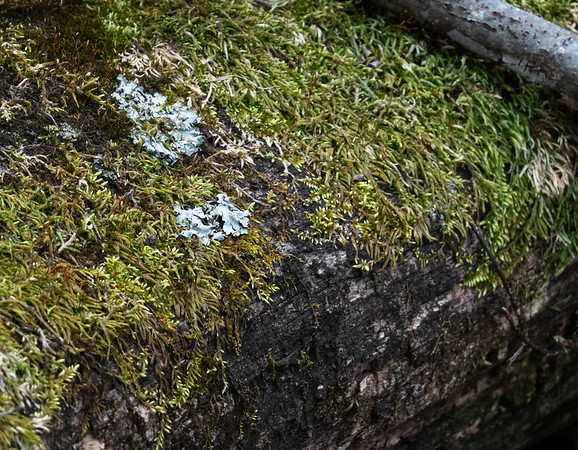 Moss and Lichen on log (8.2)