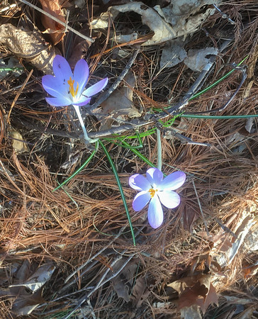 First crocus this spring