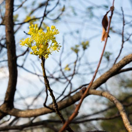 Sassafras Bloom