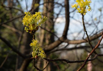 Sassafrass has yellow flowers