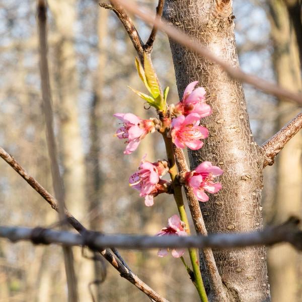 Volunteer peach blossoms
