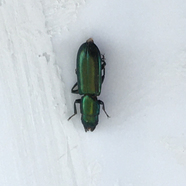 most likely Emerald Ash Borer