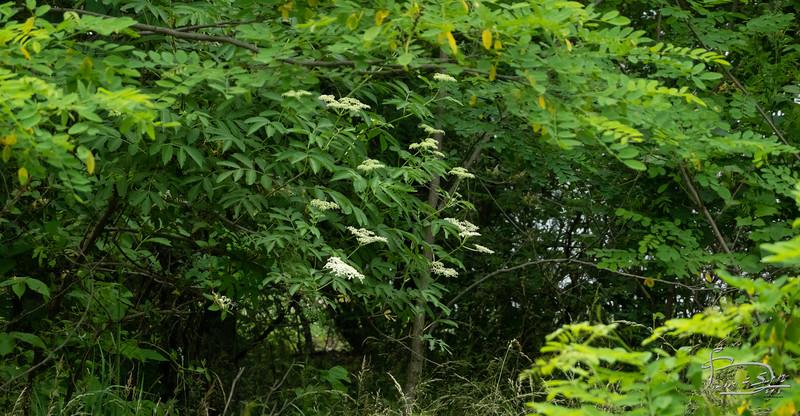 Elderberry flowering DSC02382
