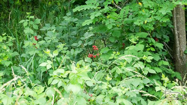 Fragrant sumac berries DSC02379