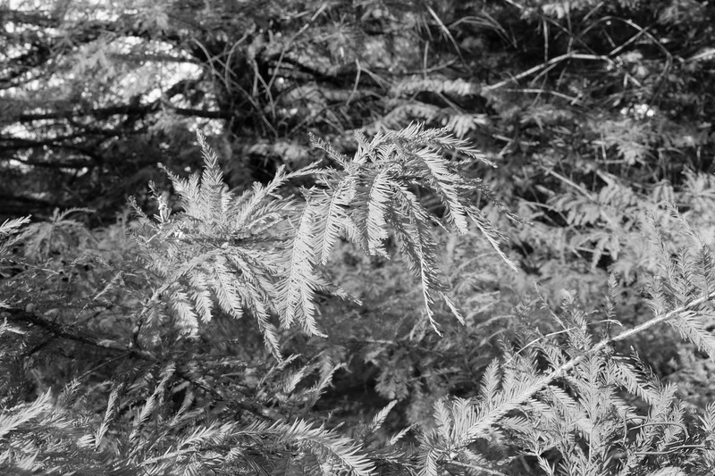 black and white photos of bald cypress leaves don't show the browning.  At least not using the technique of reducing the saturation on all colors to zero.