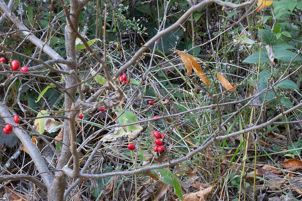 I think it is spice bush