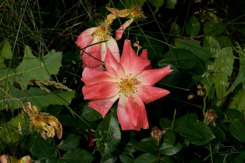 wild rose ?