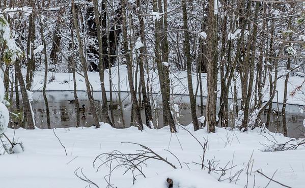 wild ducks in the snow