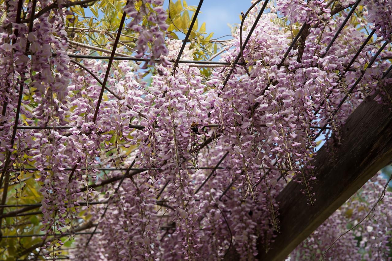 Wisteria in full bloom