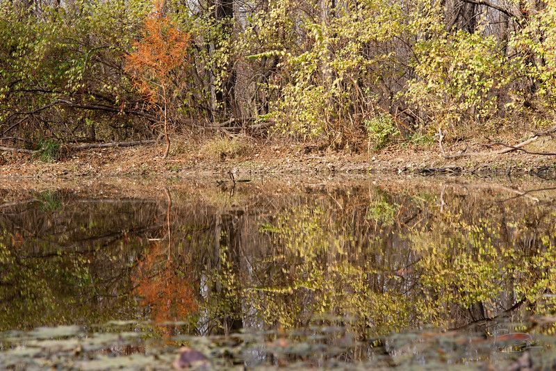 Bald cypress reflection
