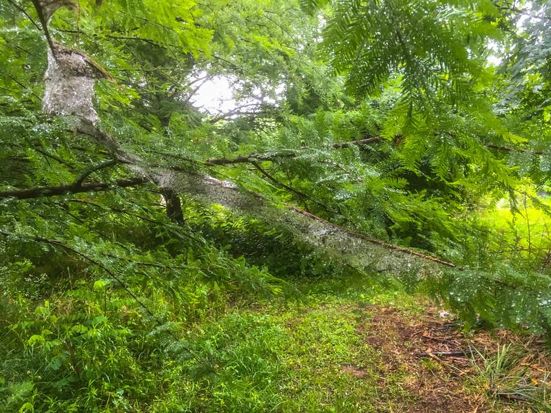 Rain sparkles on bald cypress