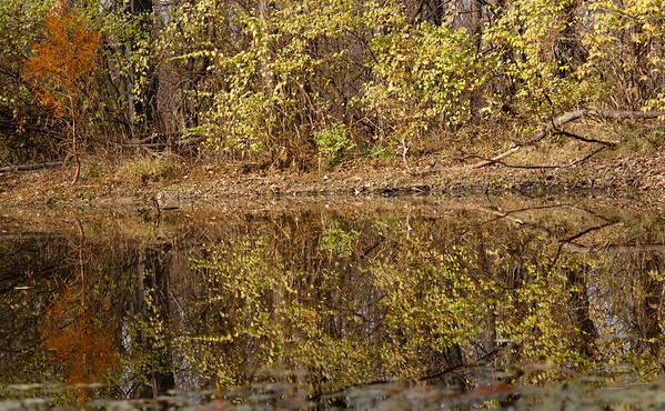 Bald Cypress by pond