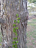 Vine coming up trunk of a bald cypress.