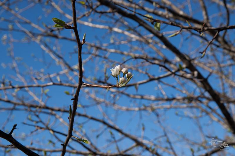 Pyrus pyrifolia