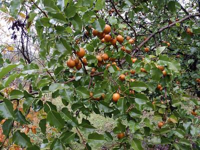 Asian pear is full of fruit
