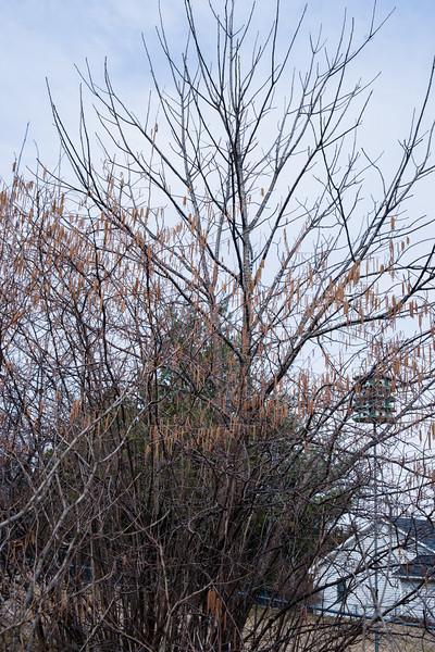 Hazelnut buds