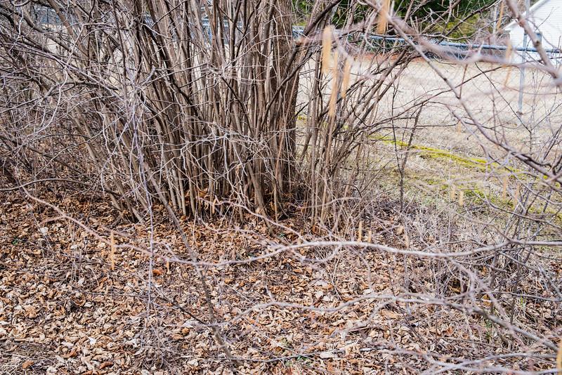 Hazelnut thicket