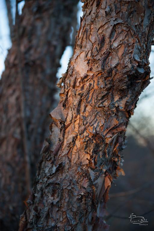 river birch bark at sunset
