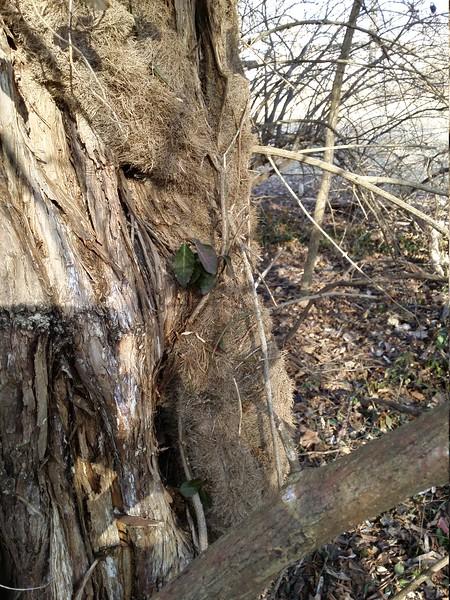 Euonymus fortunei (winter creeper)
