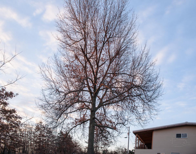 Oak at sunrise