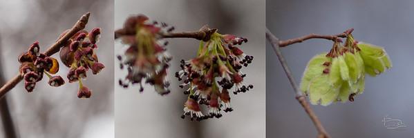 Slippery elm flowering