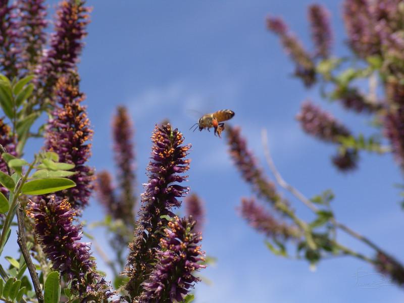 Bee visiting false indigo