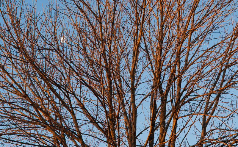 Moon in the tree shortly after sunrise